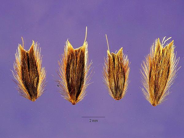 Nit Grass (Gastridium) https://www.sagebud.com/nit-grass-gastridium