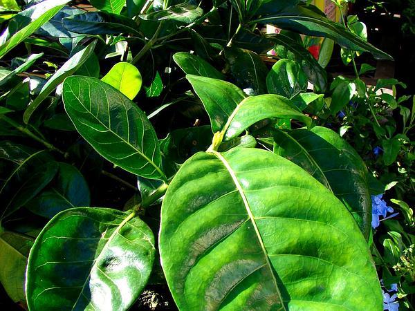 Tahitian Gardenia (Gardenia Taitensis) https://www.sagebud.com/tahitian-gardenia-gardenia-taitensis/