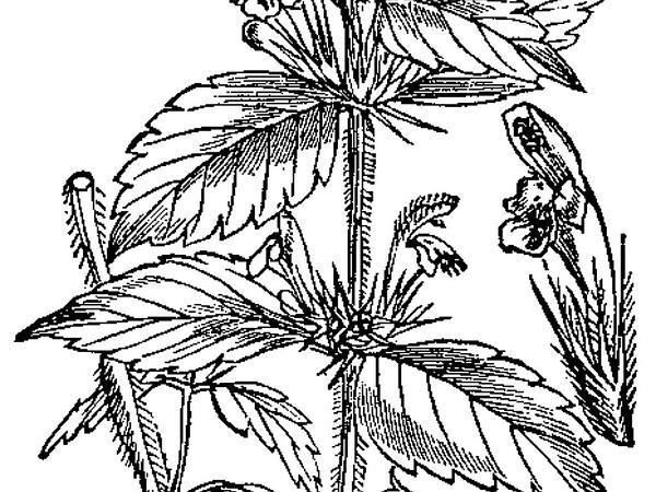Brittlestem Hempnettle (Galeopsis Tetrahit) https://www.sagebud.com/brittlestem-hempnettle-galeopsis-tetrahit