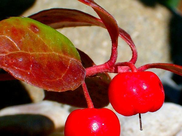 Snowberry (Gaultheria) https://www.sagebud.com/snowberry-gaultheria/
