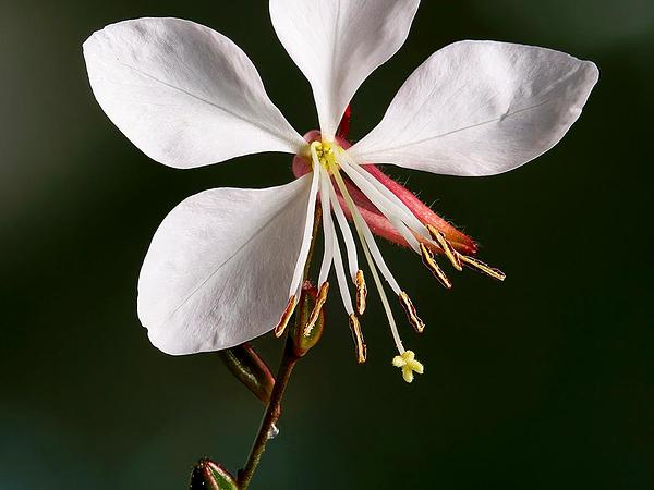 Beeblossom (Gaura) https://www.sagebud.com/beeblossom-gaura