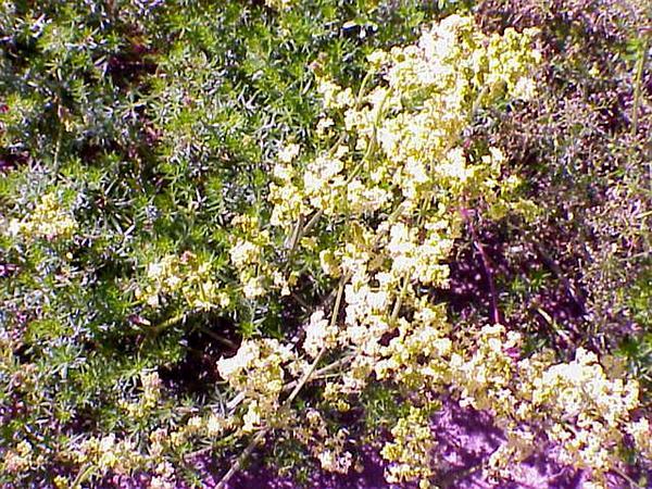 Yellow Spring Bedstraw (Galium Verum) https://www.sagebud.com/yellow-spring-bedstraw-galium-verum