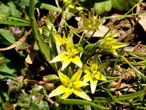 Hairy Star Of Bethlehem (Gagea Villosa) https://www.sagebud.com/hairy-star-of-bethlehem-gagea-villosa