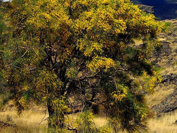 Mt. Etna Broom (Genista Aetnensis) https://www.sagebud.com/mt-etna-broom-genista-aetnensis