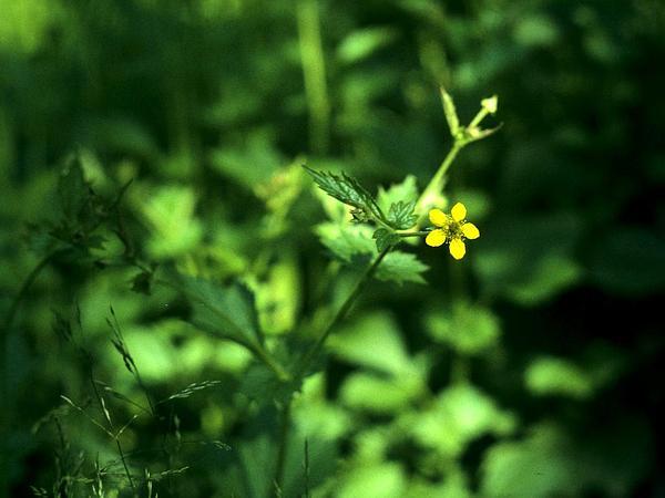Yellow Avens (Geum Aleppicum) https://www.sagebud.com/yellow-avens-geum-aleppicum
