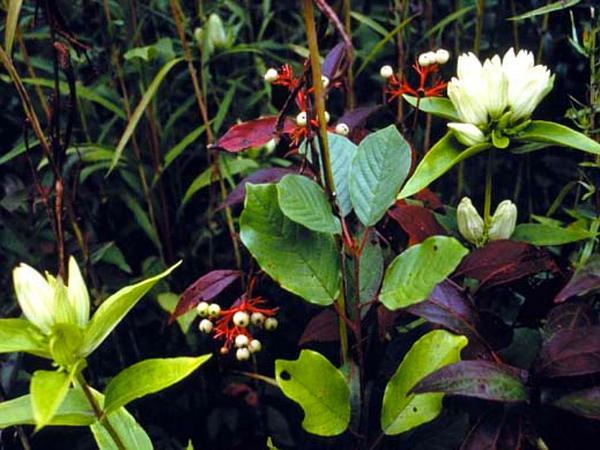 Plain Gentian (Gentiana Alba) https://www.sagebud.com/plain-gentian-gentiana-alba