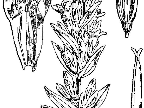 Autumn Dwarf Gentian (Gentianella Amarella) https://www.sagebud.com/autumn-dwarf-gentian-gentianella-amarella