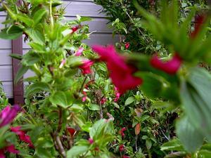 Hawai'I Red Cranesbill