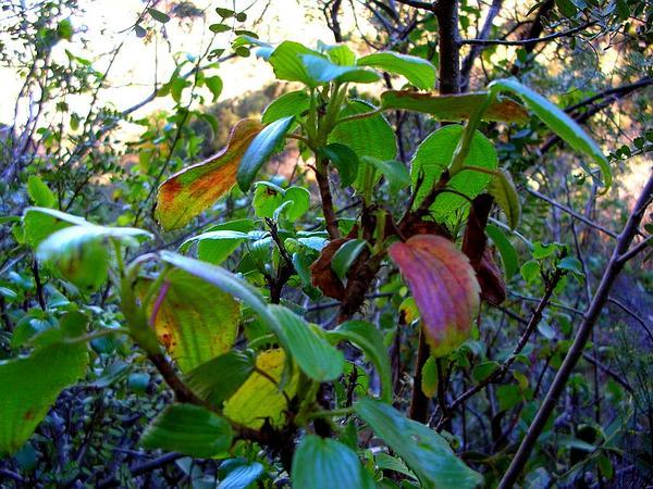 Hawai'I Red Cranesbill (Geranium Arboreum) https://www.sagebud.com/hawaii-red-cranesbill-geranium-arboreum/