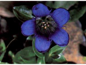 Rainier Pleated Gentian