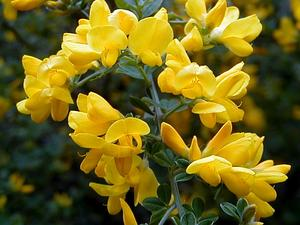 Canary Broom