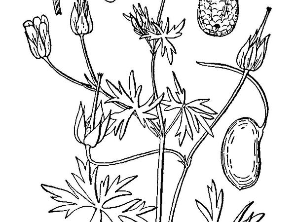 Longstalk Cranesbill (Geranium Columbinum) https://www.sagebud.com/longstalk-cranesbill-geranium-columbinum