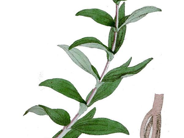 Star Gentian (Gentiana Cruciata) https://www.sagebud.com/star-gentian-gentiana-cruciata