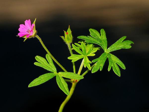 Cutleaf Geranium (Geranium Dissectum) https://www.sagebud.com/cutleaf-geranium-geranium-dissectum