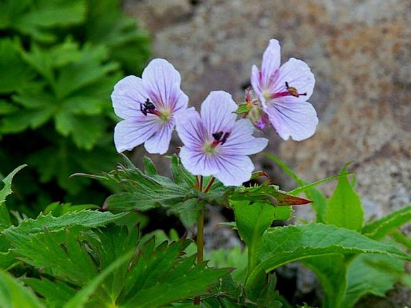 Woolly Geranium (Geranium Erianthum) https://www.sagebud.com/woolly-geranium-geranium-erianthum/