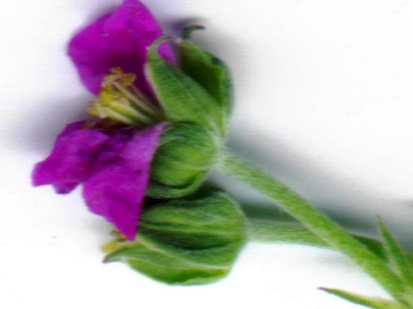 Australasian Geranium (Geranium Homeanum) https://www.sagebud.com/australasian-geranium-geranium-homeanum