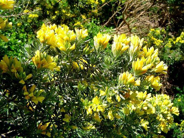 Mediterranean Broom (Genista Linifolia) https://www.sagebud.com/mediterranean-broom-genista-linifolia/