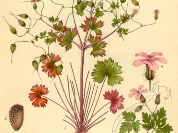 Shining Geranium (Geranium Lucidum) https://www.sagebud.com/shining-geranium-geranium-lucidum