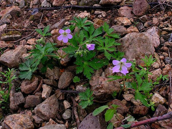 Spotted Geranium (Geranium Maculatum) https://www.sagebud.com/spotted-geranium-geranium-maculatum