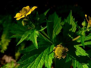 Largeleaf Avens