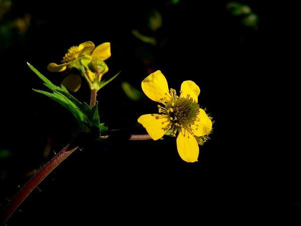 Largeleaf Avens (Geum Macrophyllum) https://www.sagebud.com/largeleaf-avens-geum-macrophyllum