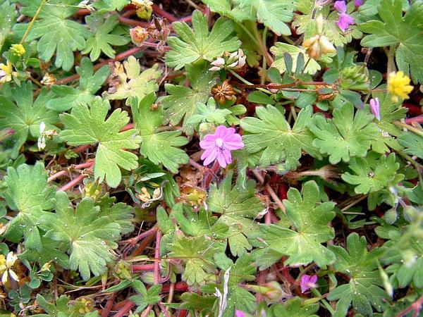 Dovefoot Geranium (Geranium Molle) https://www.sagebud.com/dovefoot-geranium-geranium-molle