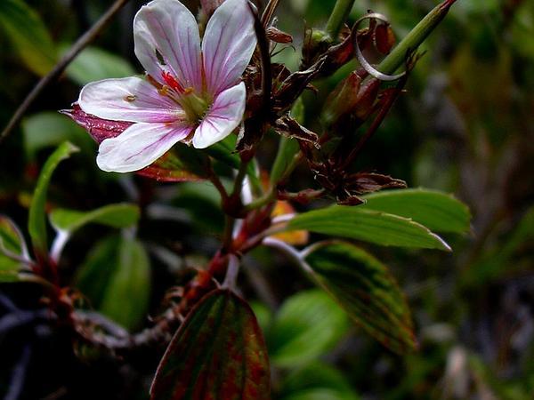 Manyflower Geranium (Geranium Multiflorum) https://www.sagebud.com/manyflower-geranium-geranium-multiflorum