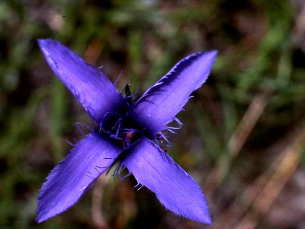 Fringed Gentian (Gentianopsis) https://www.sagebud.com/fringed-gentian-gentianopsis