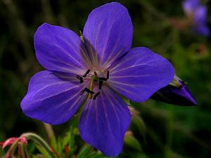 Meadow Geranium