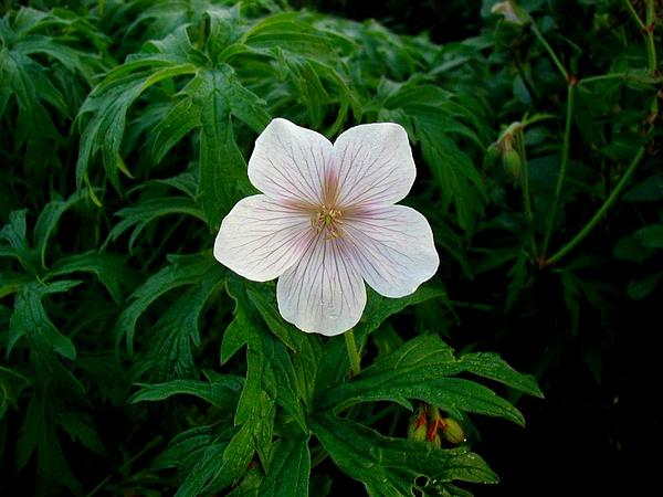 Meadow Geranium (Geranium Pratense) https://www.sagebud.com/meadow-geranium-geranium-pratense/
