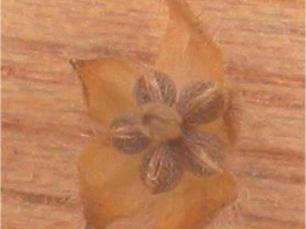 Small Geranium (Geranium Pusillum) https://www.sagebud.com/small-geranium-geranium-pusillum/
