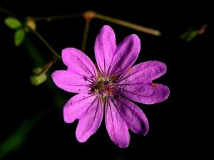 Hedgerow Geranium