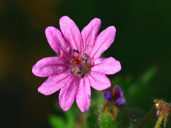Hedgerow Geranium (Geranium Pyrenaicum) https://www.sagebud.com/hedgerow-geranium-geranium-pyrenaicum