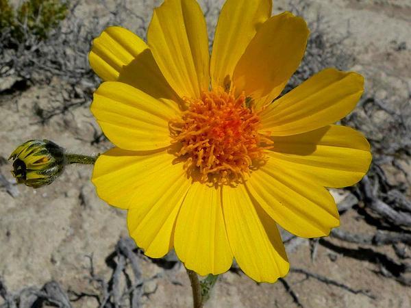 Desertsunflower (Geraea) https://www.sagebud.com/desertsunflower-geraea/
