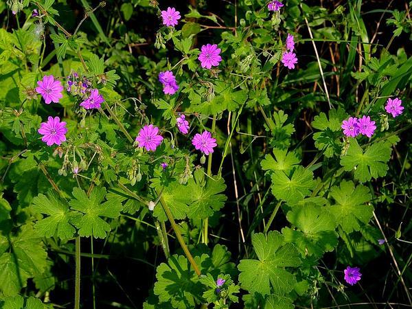 Geranium (Geranium) https://www.sagebud.com/geranium-geranium