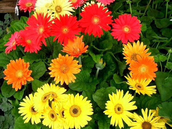 Transvaal Daisy (Gerbera) https://www.sagebud.com/transvaal-daisy-gerbera