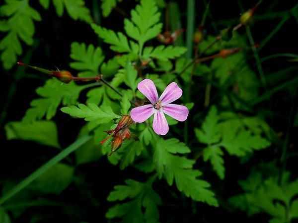 Robert Geranium (Geranium Robertianum) https://www.sagebud.com/robert-geranium-geranium-robertianum