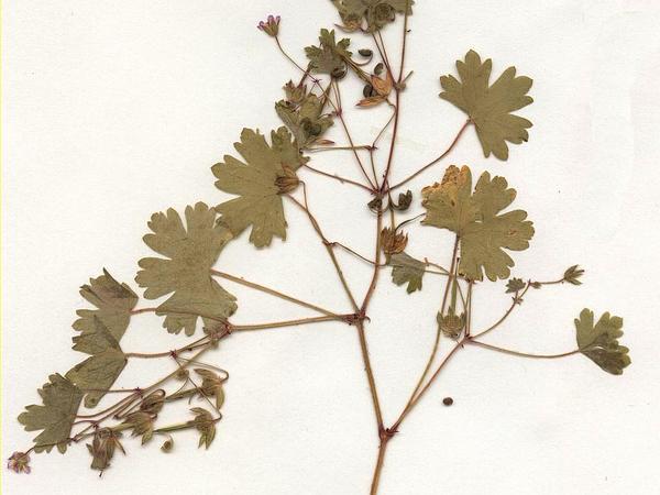 Roundleaf Geranium (Geranium Rotundifolium) https://www.sagebud.com/roundleaf-geranium-geranium-rotundifolium/