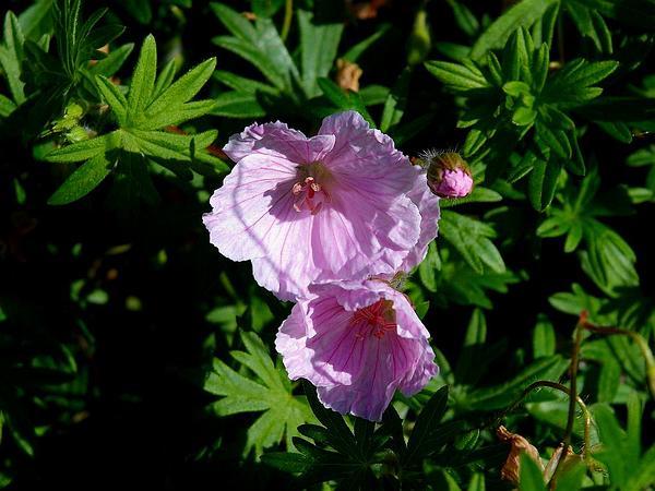Bloody Geranium (Geranium Sanguineum) https://www.sagebud.com/bloody-geranium-geranium-sanguineum