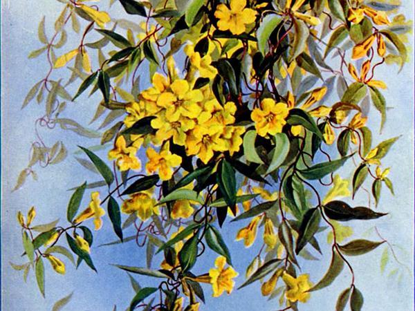 Evening Trumpetflower (Gelsemium Sempervirens) https://www.sagebud.com/evening-trumpetflower-gelsemium-sempervirens