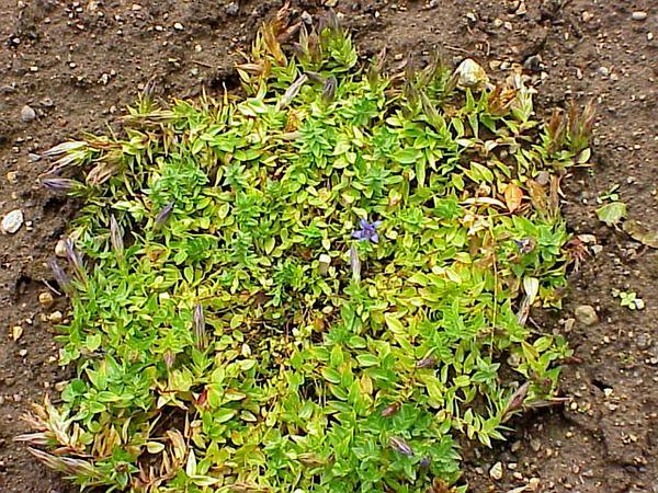 Crested Gentian (Gentiana Septemfida) https://www.sagebud.com/crested-gentian-gentiana-septemfida/