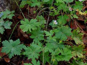 Siberian Geranium