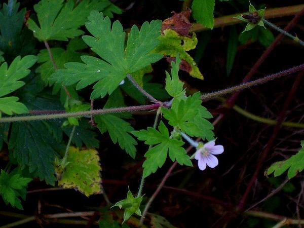 Siberian Geranium (Geranium Sibiricum) https://www.sagebud.com/siberian-geranium-geranium-sibiricum/