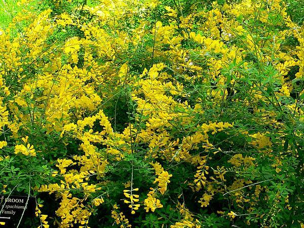 Leafy Broom (Genista Stenopetala) https://www.sagebud.com/leafy-broom-genista-stenopetala