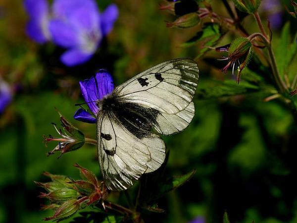 Woodland Geranium (Geranium Sylvaticum) https://www.sagebud.com/woodland-geranium-geranium-sylvaticum