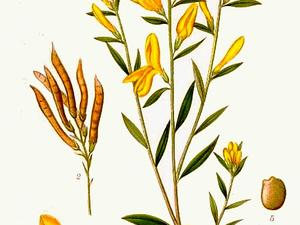 Dyer's Greenweed