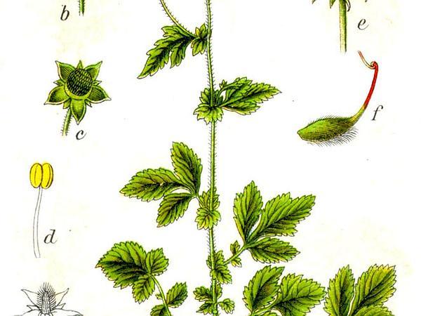 Herb Bennet (Geum Urbanum) https://www.sagebud.com/herb-bennet-geum-urbanum