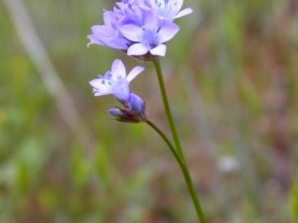 California Gilia (Gilia Achilleifolia) https://www.sagebud.com/california-gilia-gilia-achilleifolia