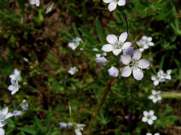 Chaparral Gilia (Gilia Angelensis) https://www.sagebud.com/chaparral-gilia-gilia-angelensis