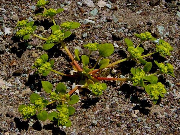 Goldencarpet (Gilmania Luteola) https://www.sagebud.com/goldencarpet-gilmania-luteola